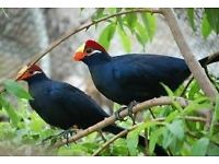 Beautiful Violaceous Turaco for sale in Wembley