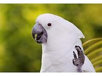 parrots wanted cockatoo s