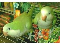 stunning baby green quaker parrots 12 weeks old males and females with hatching certificates
