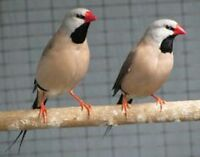 Shaft tail Finches