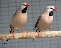 Shaft tail finch pair!
