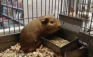 Cochon d'inde mâle de 4 mois très doux