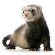 Ferrets seeking forever homes