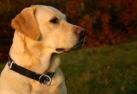 Looking for : Yellow lab