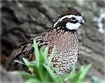 Quail And More