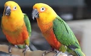 Breeding pairs Jenday conures Cooranbong Lake Macquarie Area Preview