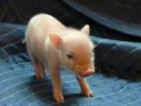 True Teacup Mini Piglet For Re-Homing
