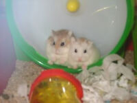 2 Dwarf Hamsters available, complete with cage, bedding, etc FREE TO GOOD HOME