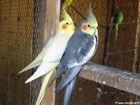 Cockatiels pairs