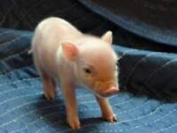 Healthy Teacup  Mini piglet for Re-homing