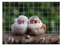 Zebra Finches NOW SOLD