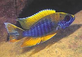 Looking for male Malawi Cichlids
