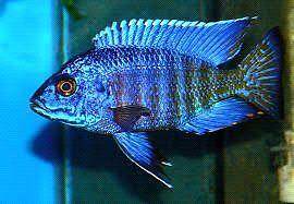 FS:  Breeding group of Aulonocara Stuartgranti Sp. Chilumba