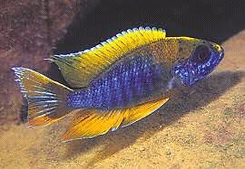 Looking for healthy male African cichlids