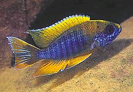 Top dollar paid for quality African cichlids