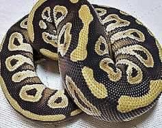 Lesser and mojave male ball pythons