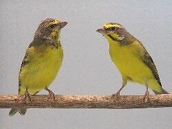 Green singing finches