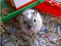 3 male gerbils FREE to good home