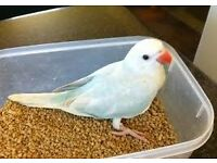 blue baby lacewing ringneck parrots 12 weeks old males and females with hatching certificates