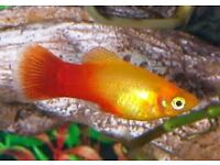 FREE! Platy fish free to good home! Female and male adults, 3 month old babies and fry available