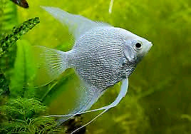 Wanting to buy a Platinum Angel Fish