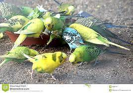 Healthy young colourful Budgies Noble Park Greater Dandenong Preview