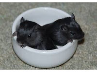black mongolian gerbils