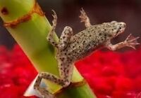 African aquatic dwarf frogs for free