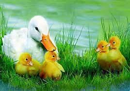 7 ducklings 1 week old Deloraine Meander Valley Preview