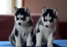 Wanting to buy Siberian Huskies X2 Roma Roma Area Preview