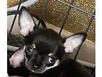 CHIHUAHUA boy KC Reg. 11wks old. 1st vac Microchipped & Health Insured