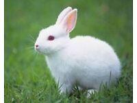 2 x White rabbits