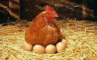 Oeufs de poules en liberté