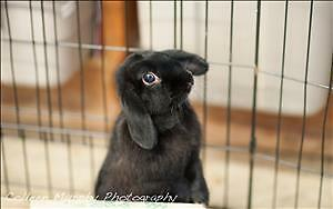 "Adult Female Rabbit - Lop Eared: ""Blackie"""