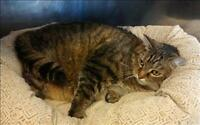 "Adult Male Cat - Domestic Short Hair: ""Max"""