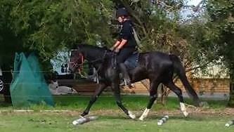 STUNNING PINTO X TB BLACK/BROWN FILLY Mundijong Serpentine Area Preview