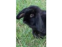 Free rabbit (cage and hutch for sale)