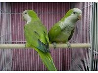 baby quaker parrots greens 12 weeks old males and females with hatching certificates