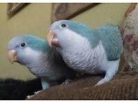 BABY BLUE QUAKER PARROTS
