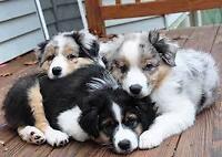 URGENT-WANT HYPOALLERGENIC DOGS OR AUSTRAILIAN SHEPERD