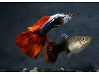 Tropical fish young guppies free to collector