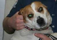 "Senior Male Dog - Basset Hound-Beagle: ""May"""