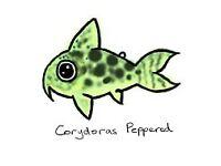Peppered Corydoras FREE to a good home