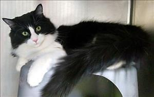 """Young Female Cat - Domestic Long Hair: """"Ashley"""""""