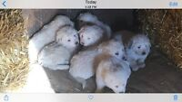 Great Pyrenees Pups For sale