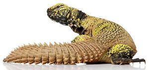 Looking for Uromastyx - (With tank/acessories would be great.)