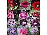 Ornamental Opium Poppy Seeds