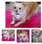 "Adult Female Dog - Chihuahua-Pomeranian: ""Peaches"""