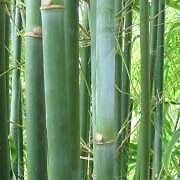 15 X Very Tall Bamboo Plants in Pots (Slender Weaver) Bellevue Hill Eastern Suburbs Preview