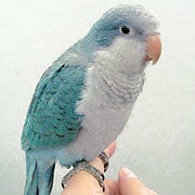 Blue Quaker Parrot (male)